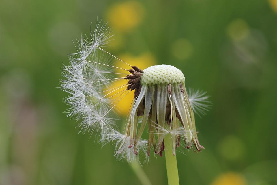 Dandelion, Seeds, Flying Seeds, Meadow, Early Summer