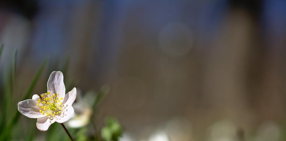 Wood Anemone, Flower, Spring Flower, Early Summer