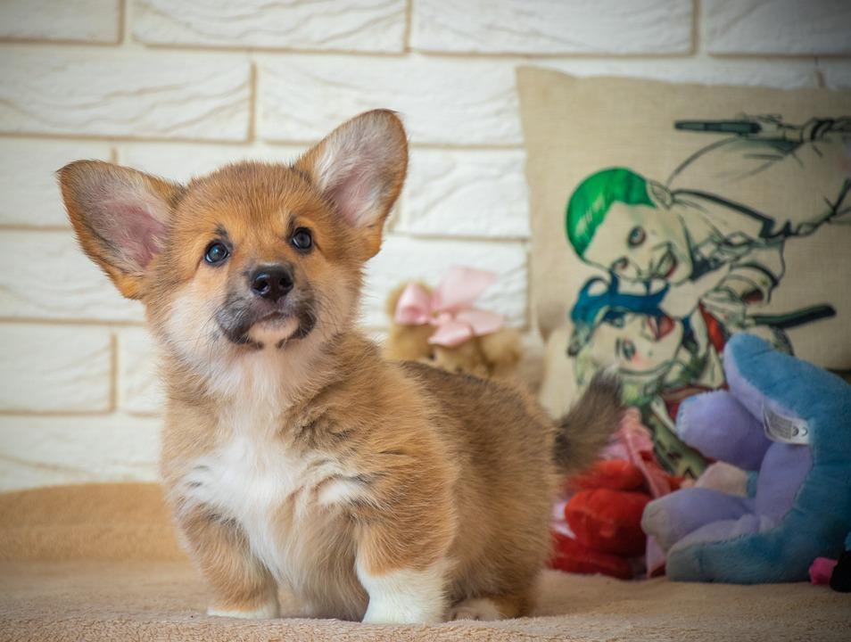 Corgi, Ears, Looking, Dog, Pet, Animal, Cute, Doggy