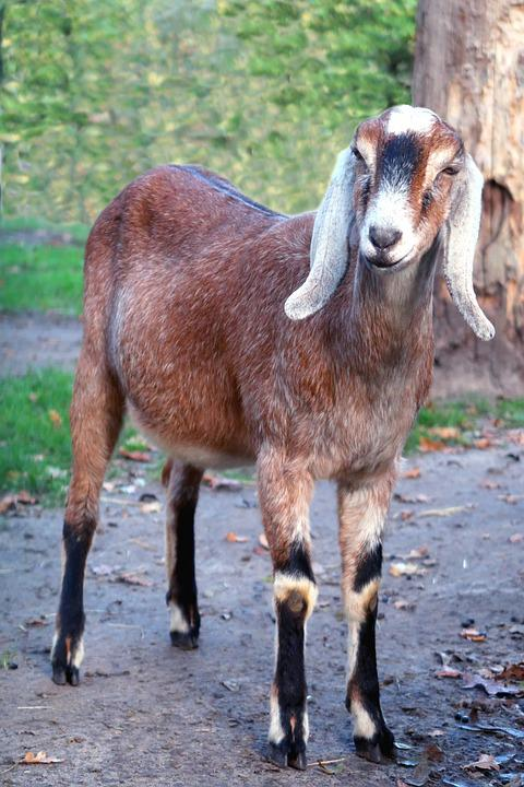 Goat, Nubian Goat, Goats, Farm, Ears, Cattle