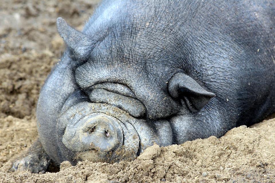 Pig, Hair, Grey, Sleep, Snout, Ears, Sow, Boars, Female