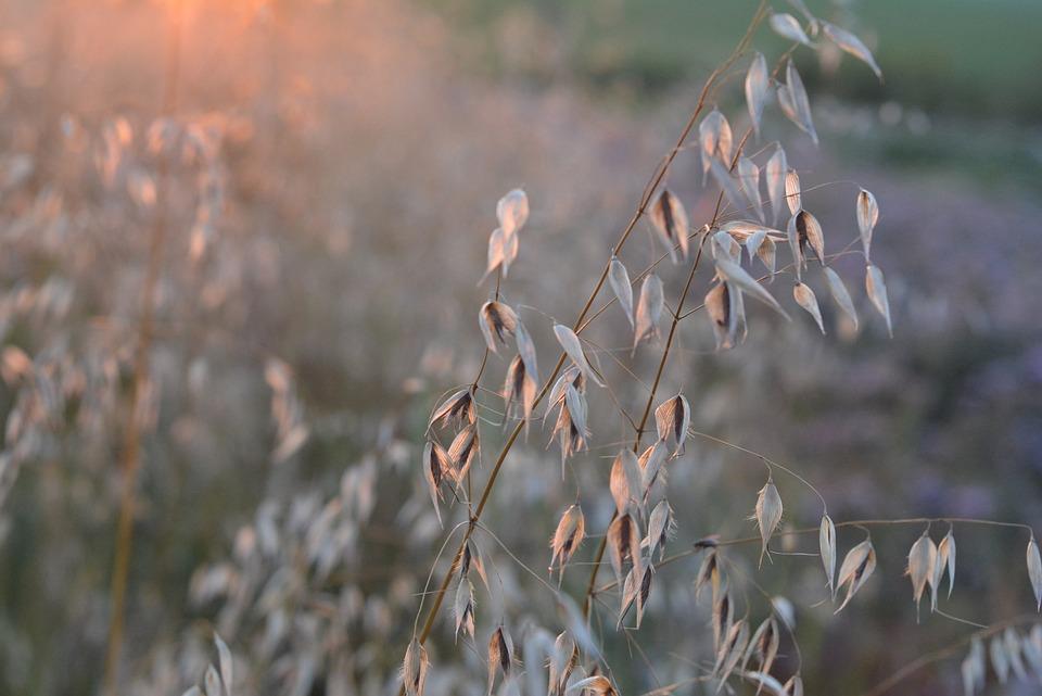 Corn, Oats, Collections, Harvest, Field, Ears, Kłos