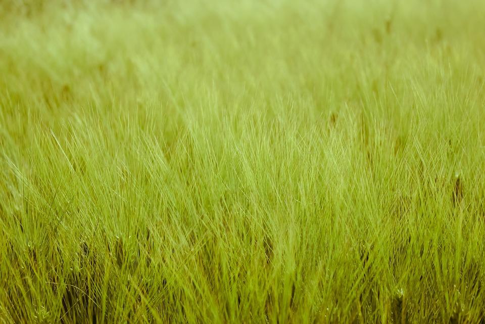 Ears Of Corn, Green, Green Wheat, Threshing, Wheat