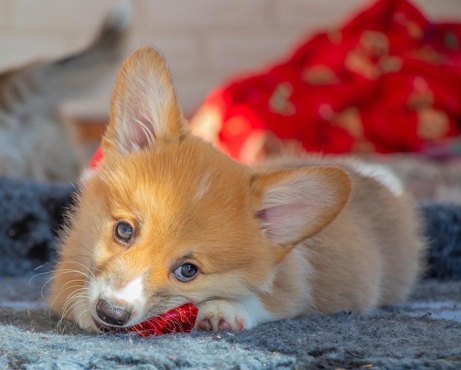 Solar, Corgi, Ears, Red Color, Looking, Dog, Pet