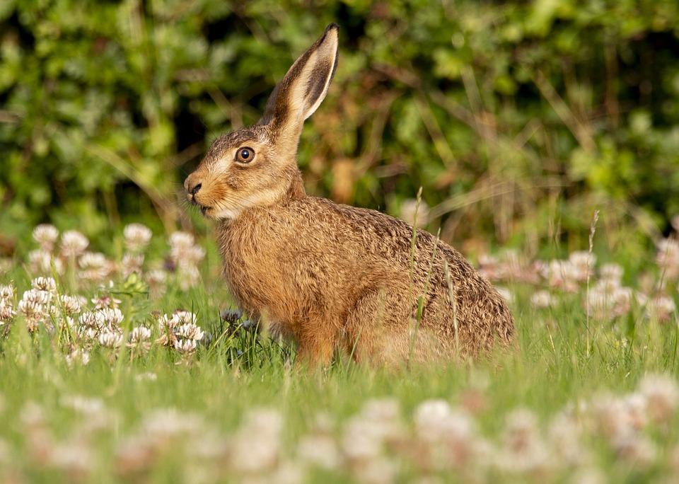 Hare, Bunny, Rabbit, Mammal, Animal, Wildlife, Ears