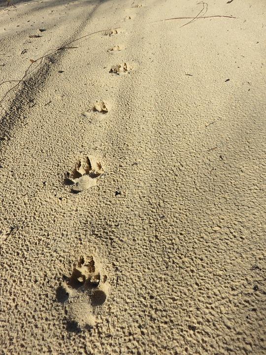 Dingo, Fraser Island, East Coast Australia, Beach