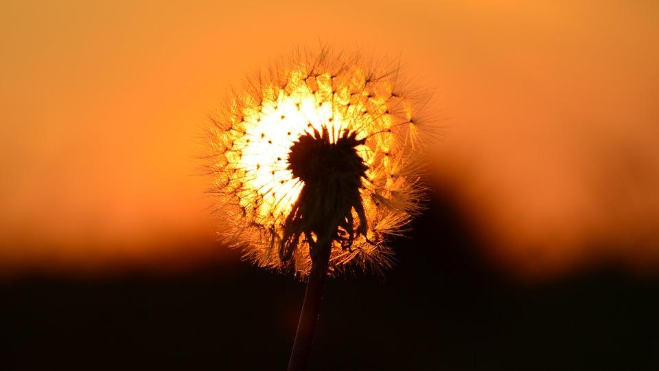 East, Sun, Dandelion