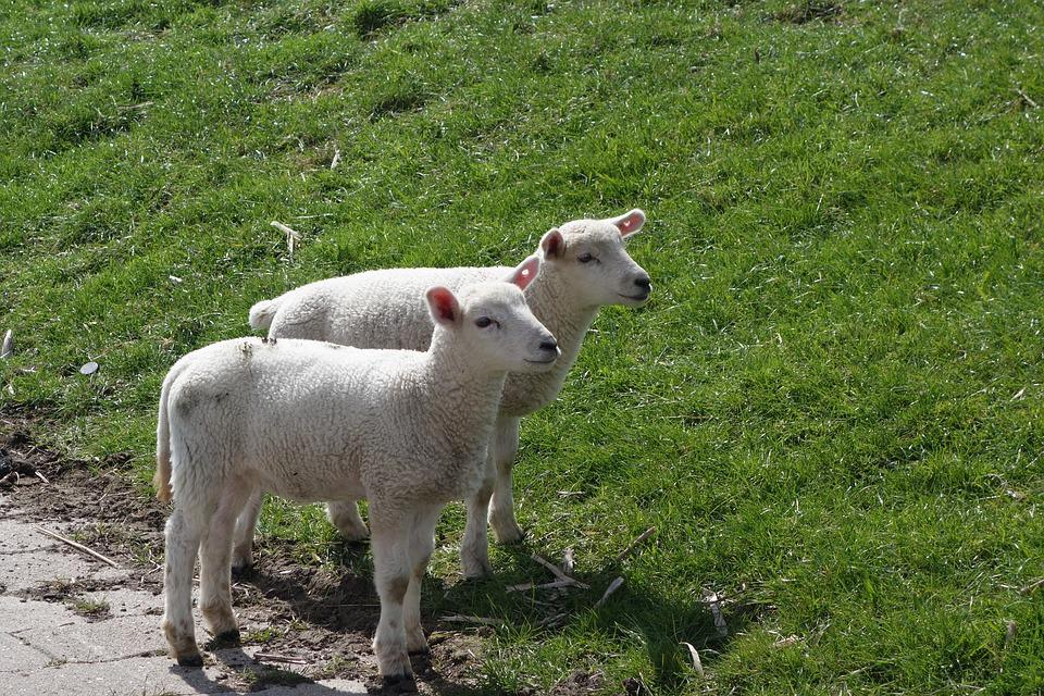 Sheep, Lamb, Lambs, Dike, Grass, Easter