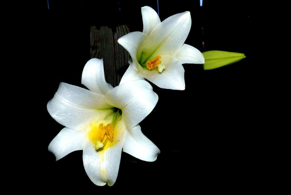 Flower, Easter Lilly, Blossom, White, Elegant