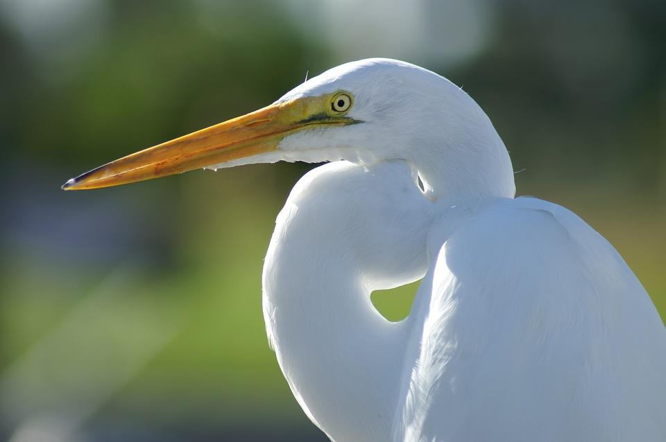 Eastern Great Egret, Bird, Animal, White Bird, Wildlife