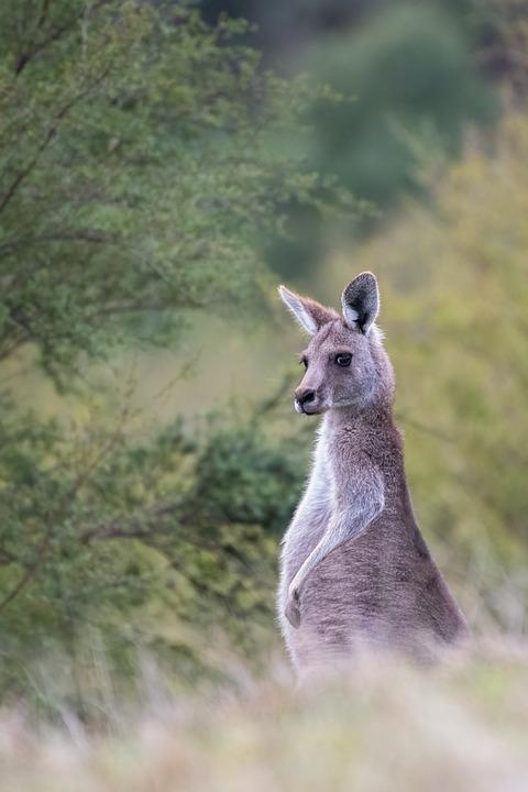 Kangaroo, Eastern Grey Kangaroo, Wildlife, Marsupial