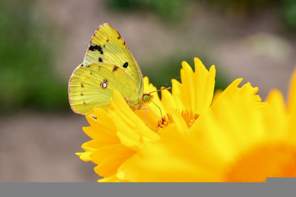 Eastern Pale Clouded Yellow, Butterfly, Flowers