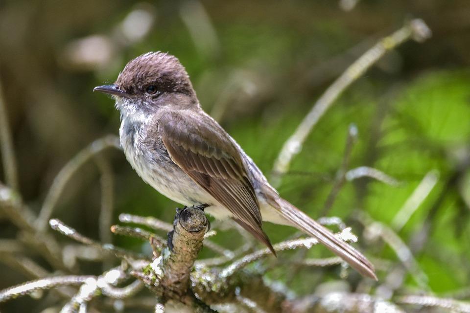 Bird, Eastern Phoebe, Full-profile