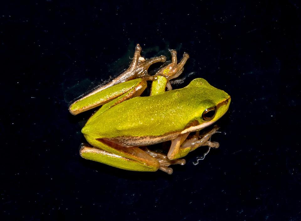 Eastern Sedge Frog, Eastern Dwarf Tree Frog
