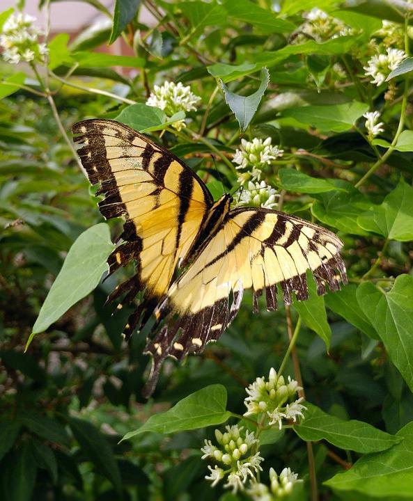 Butterfly, Swallowtail, Eastern Tiger Swallowtail
