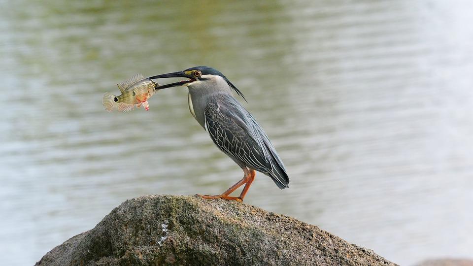Striated, Heron, Asian, Bird, Fish, Eat, Eating