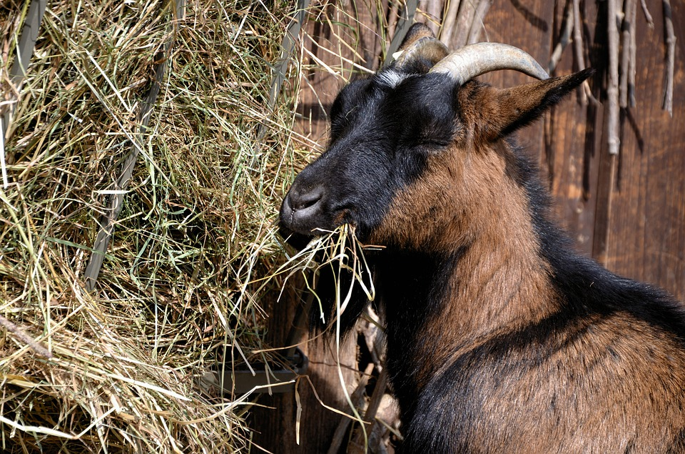 Goat, Billy Goat, Food, Eat, Animal, Livestock, Horns