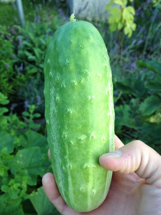 Cucumber, Garden Cucumber, Green, Healthy, Food, Eat