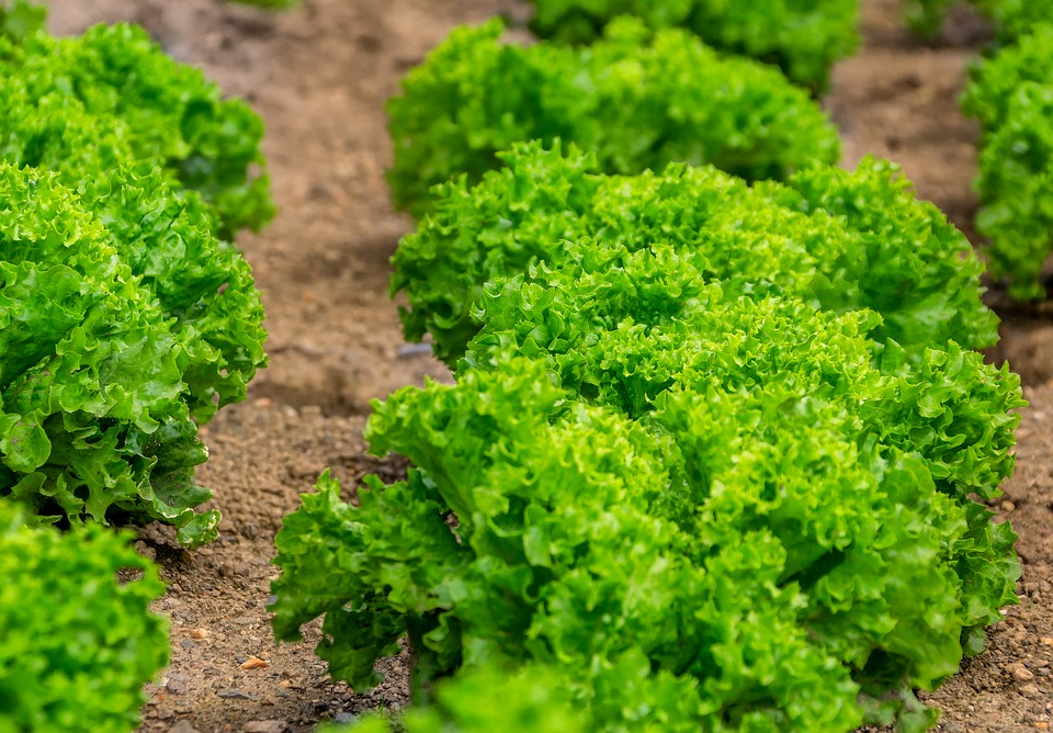 Salad, Leaf Lettuce, Culture, Food, Eat, Healthy, Kraus
