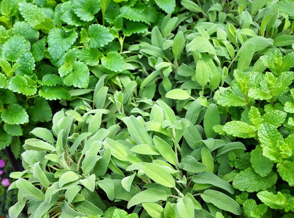 Sage, Spice, Green, Food, Eat, Plant