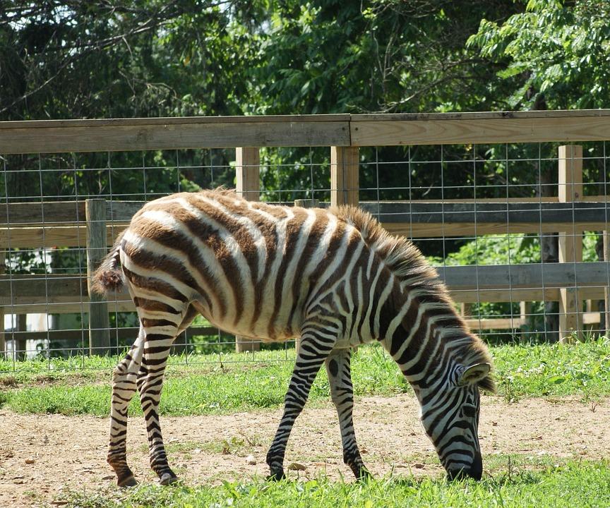 Zebra, Wild, Stripes, Eating, Animal, Mammal, Africa