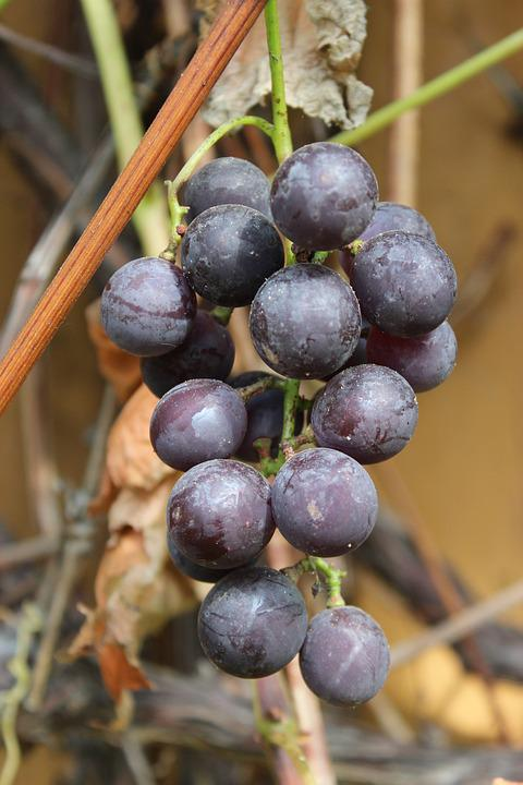 Bunch Of Grapes, Fruit, Grapes, Eating, Plant, Autumn