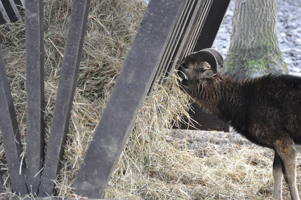 Goat, Animal, Hay, Straw, Eating