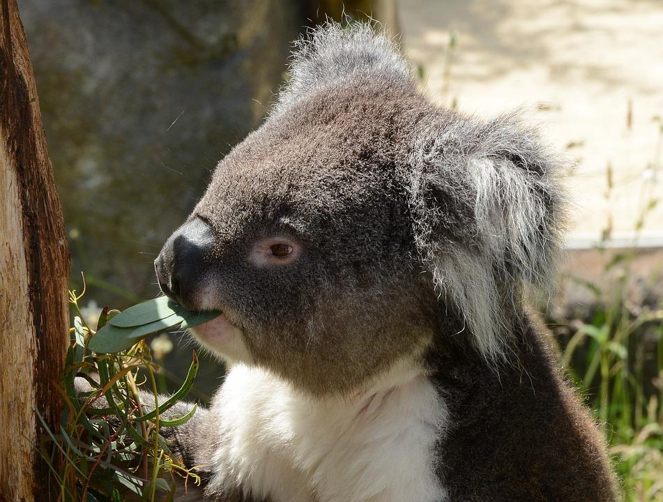 Koala Bear, Eating, Animal, Nature, Tree, Wildlife
