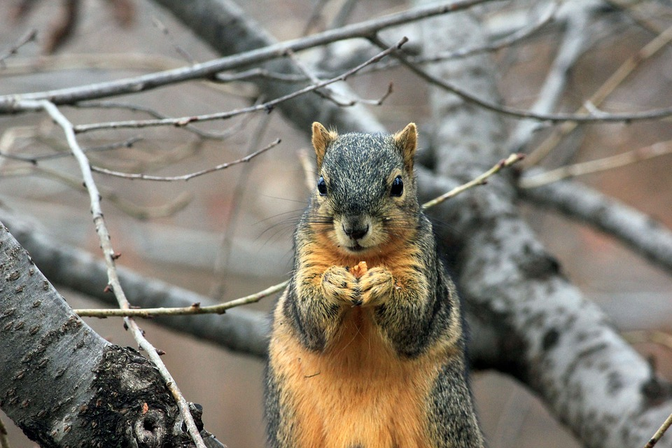 Squirrel, Rodent, Wildlife, Eating, Nut, Bushy, Animal