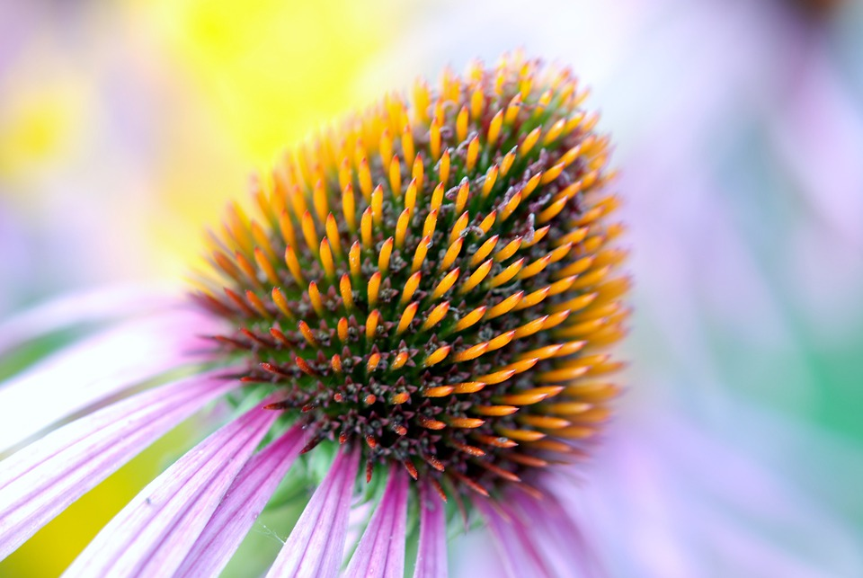 Bloom, Colorful, Coneflower, Detail, Echinacea, Flora
