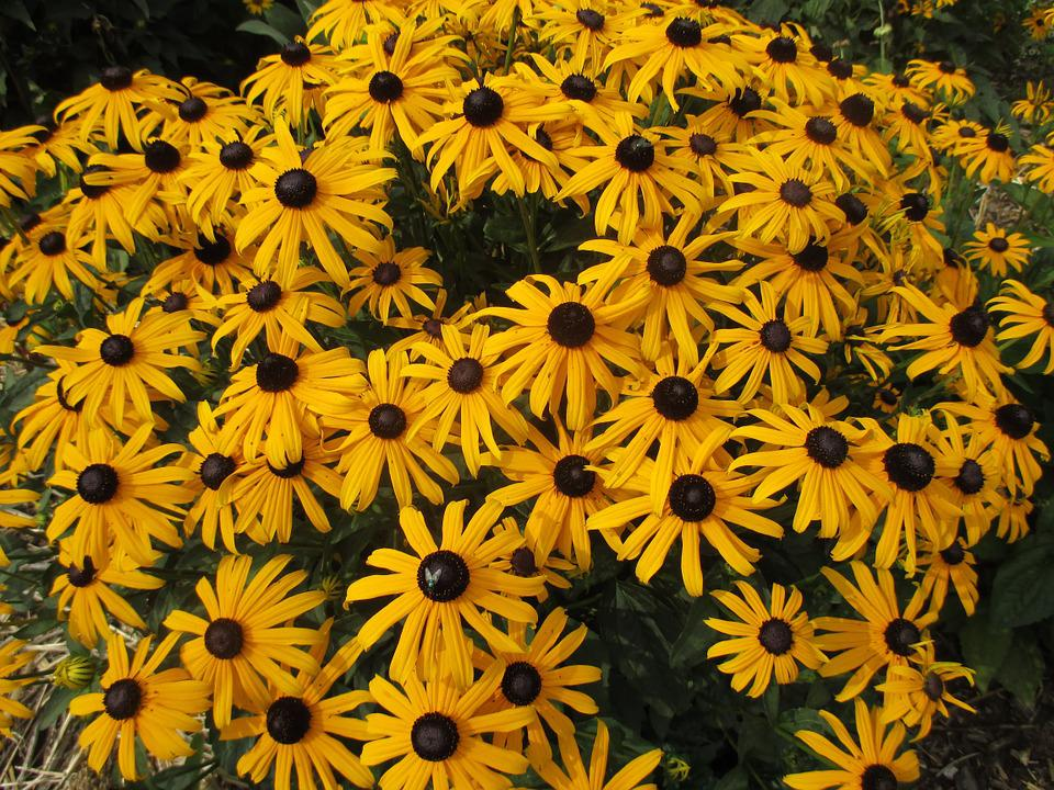 Sun Hat, Echinacea, Blossom, Bloom, Summer, Flower