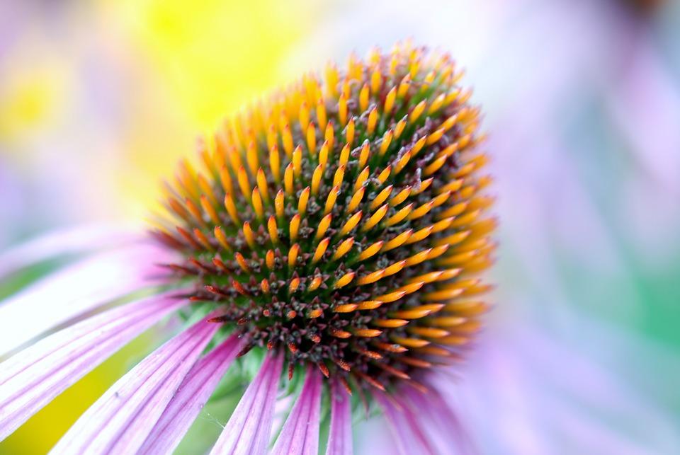 Bloom, Colorful, Coneflower, Detail, Echinacea, Flora