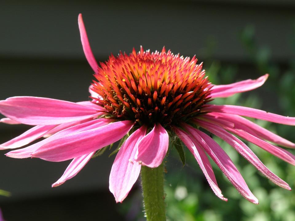 Flower, Coneflower, Pink, Purple, Echinacea, Blossom