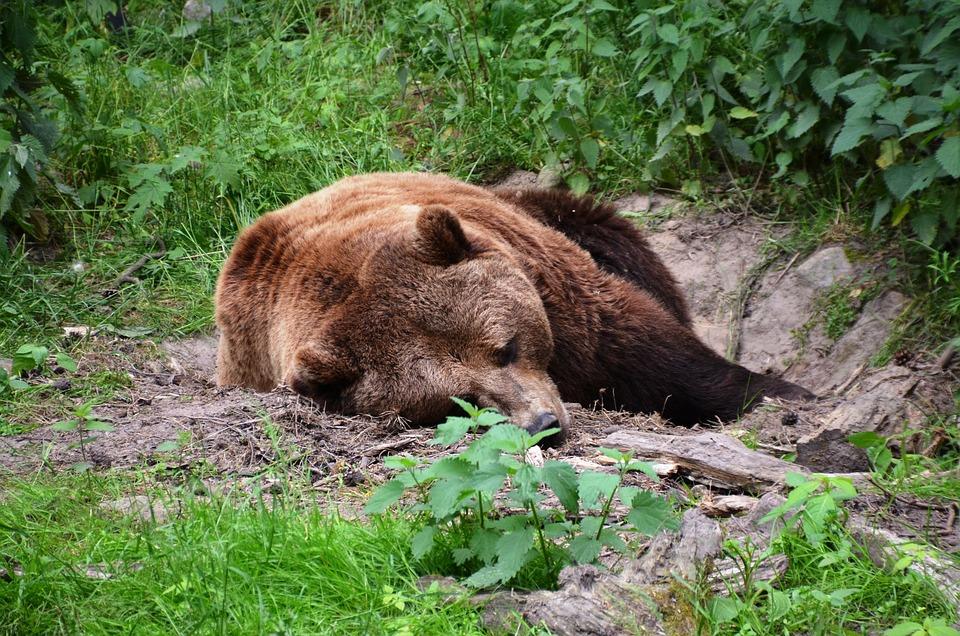 Bear, Forest, Eco-park, Güstrow