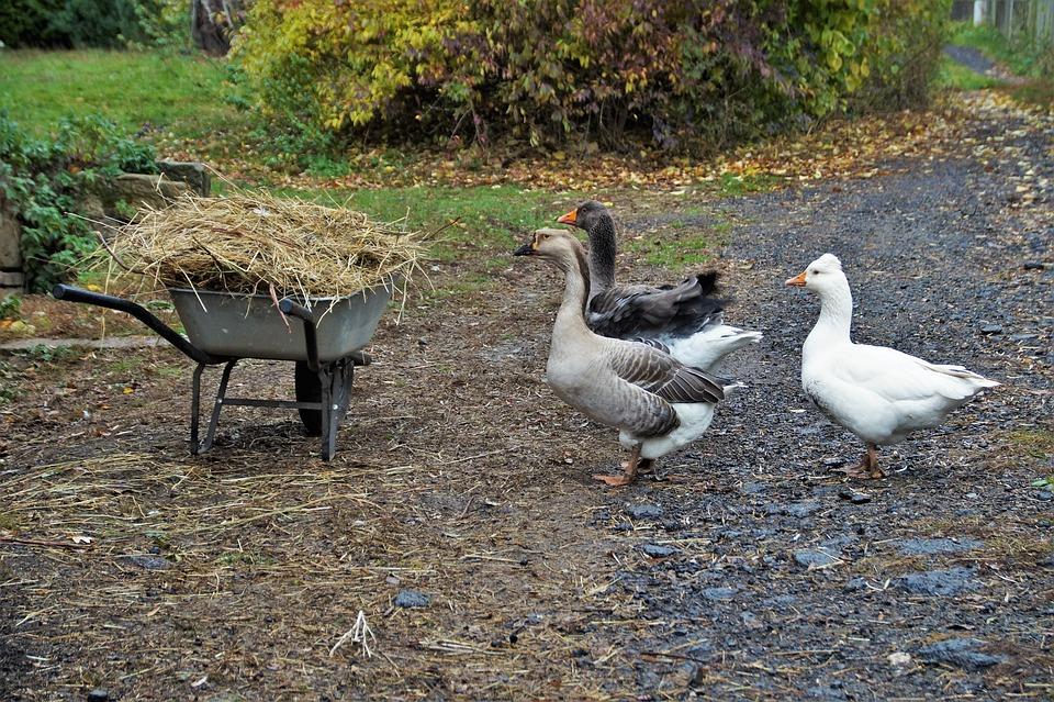 Goose, Home, Poultry, Farm, Economy, Farmhouse, Geese