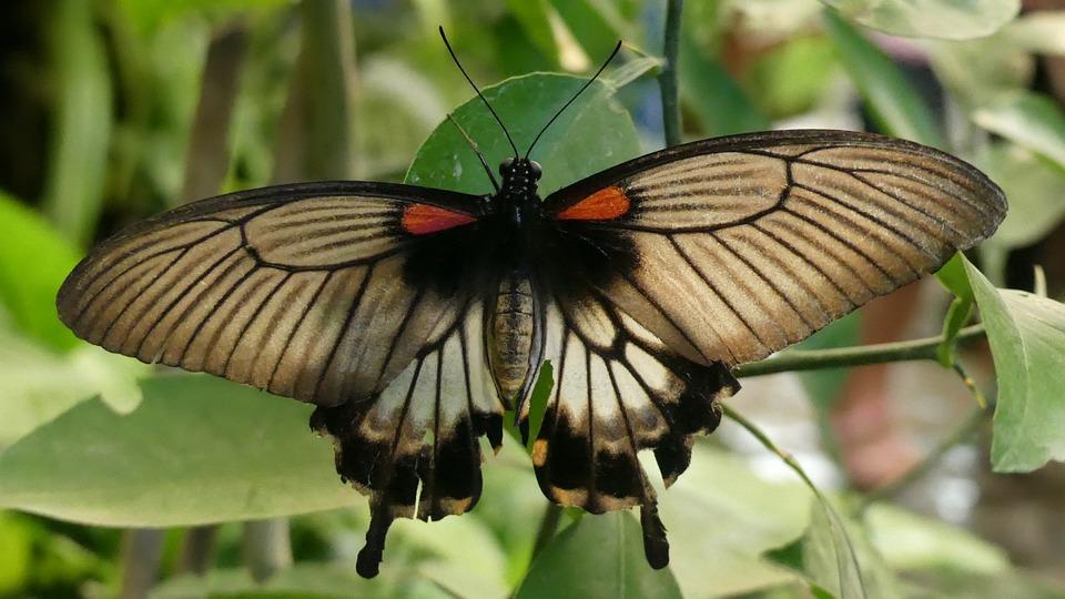 Butterfly, Edelfalter, Insect, Butterflies, Summer