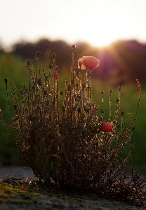 Poppy, Backlighting, Edge Of Field, Filigree, Blossom