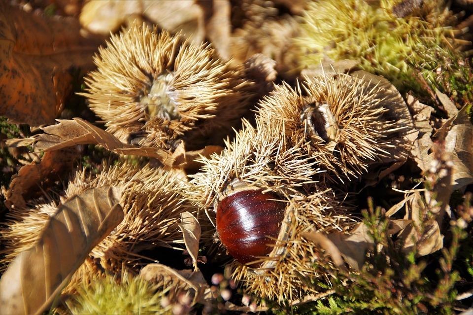 Chestnut, Edible, Autumn, Harvest, Mature, Fetus