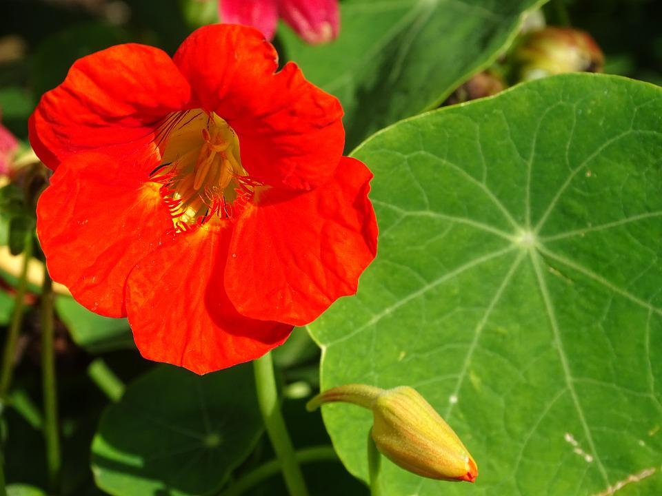 Edible Flowers, Nasturtium, Edible, Blossom, Bloom