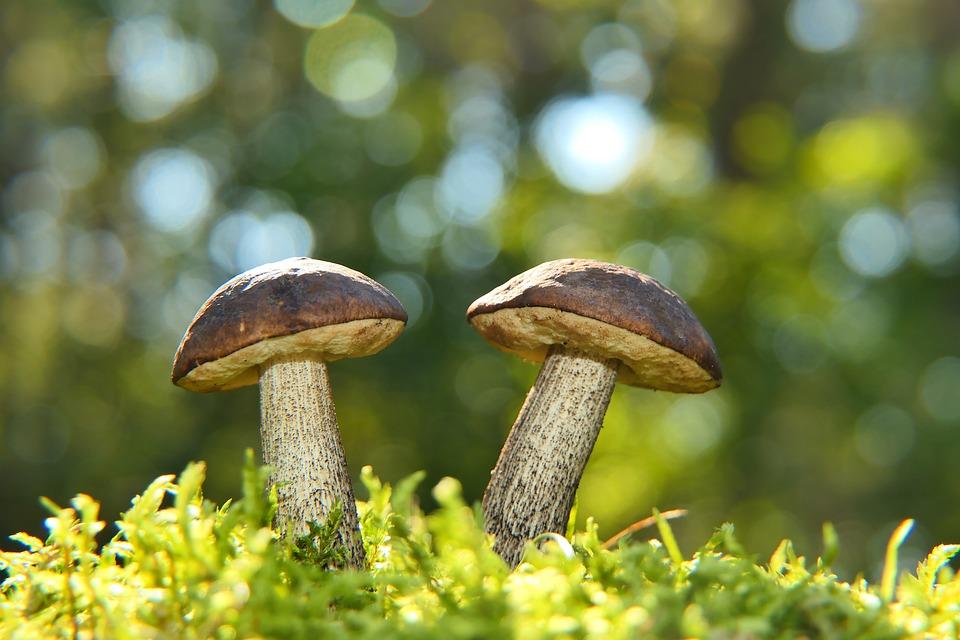 Mushroom, Edible Mushroom, Wild Mushroom, Fungi, Sponge