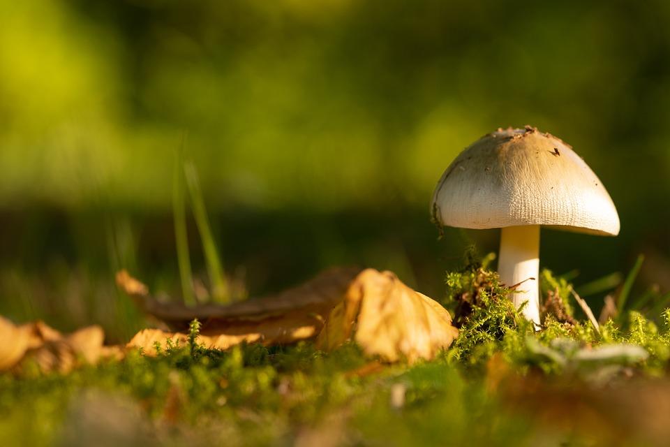Mushroom, Fungus, Toadstool, Edible, Growth, Forest