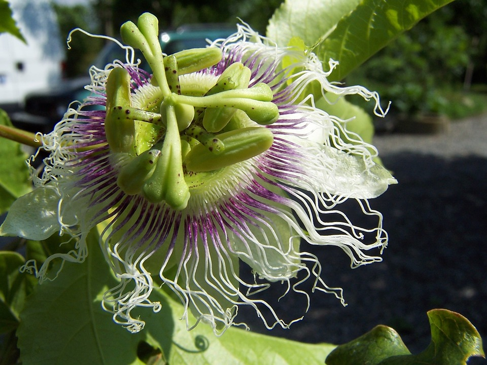 Passiflora, Edulis, Creeper, Flower, Fruit, Stamens
