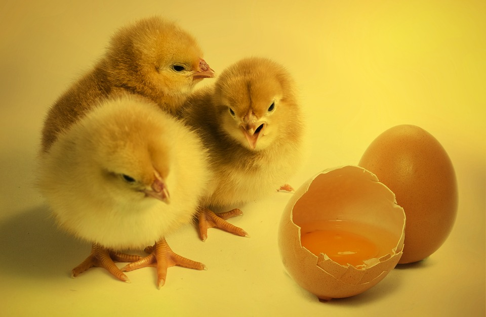 Chicks, Bird, Chickens Chicks, Egg, Eggshell, Hen's Egg
