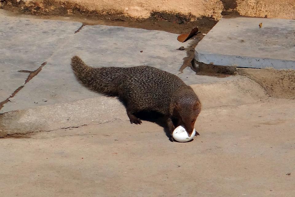 Mongoose, Grey, Indian, Egg, Grappling, India