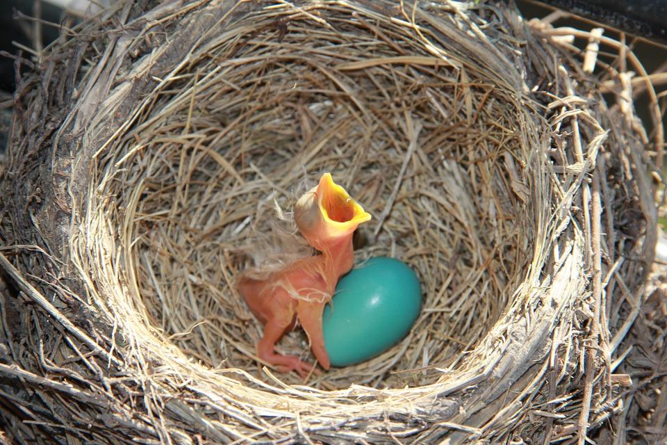 Robin, Nest, Bird, Nature, Baby, Egg