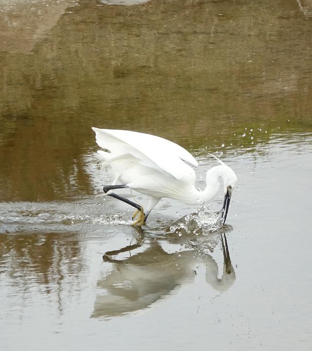 Body Of Water, Bird, Egret Is Washing The Beak