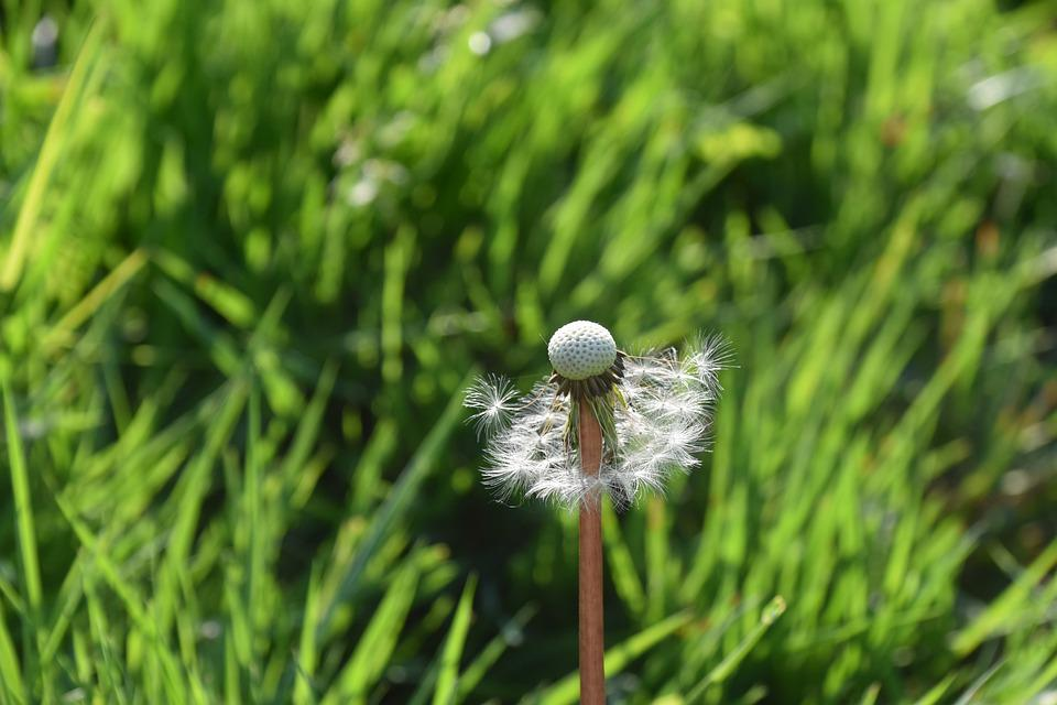 Egret Of Pisenlit, Seeds Fly In The Wind