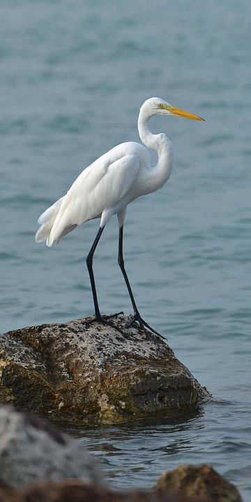 Great Egret, Bird, Sea, Rock, Egret, Wading Bird