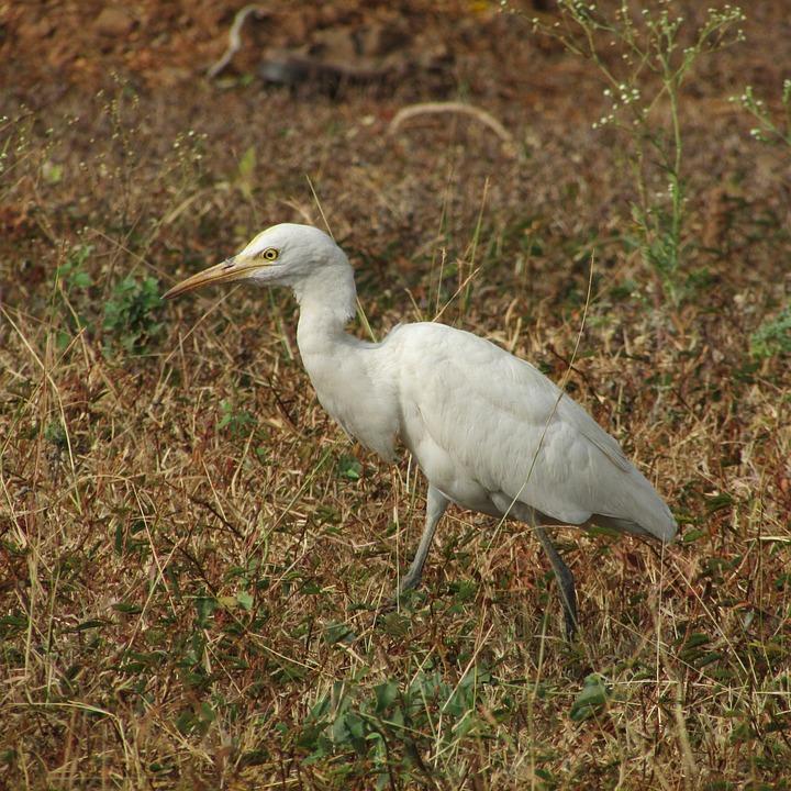 Egret, India, Wildlife, Environment, Ecology, Beak