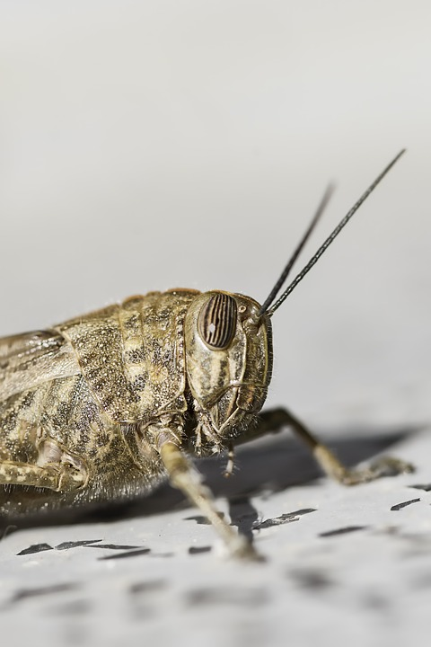 Egyptian Desert, Ornithopter, Migratory Grasshopper